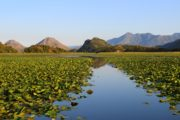 Floating beds and water lily and water with dramatic mountains in the background at Lake Skadar National Park in Montenegro
