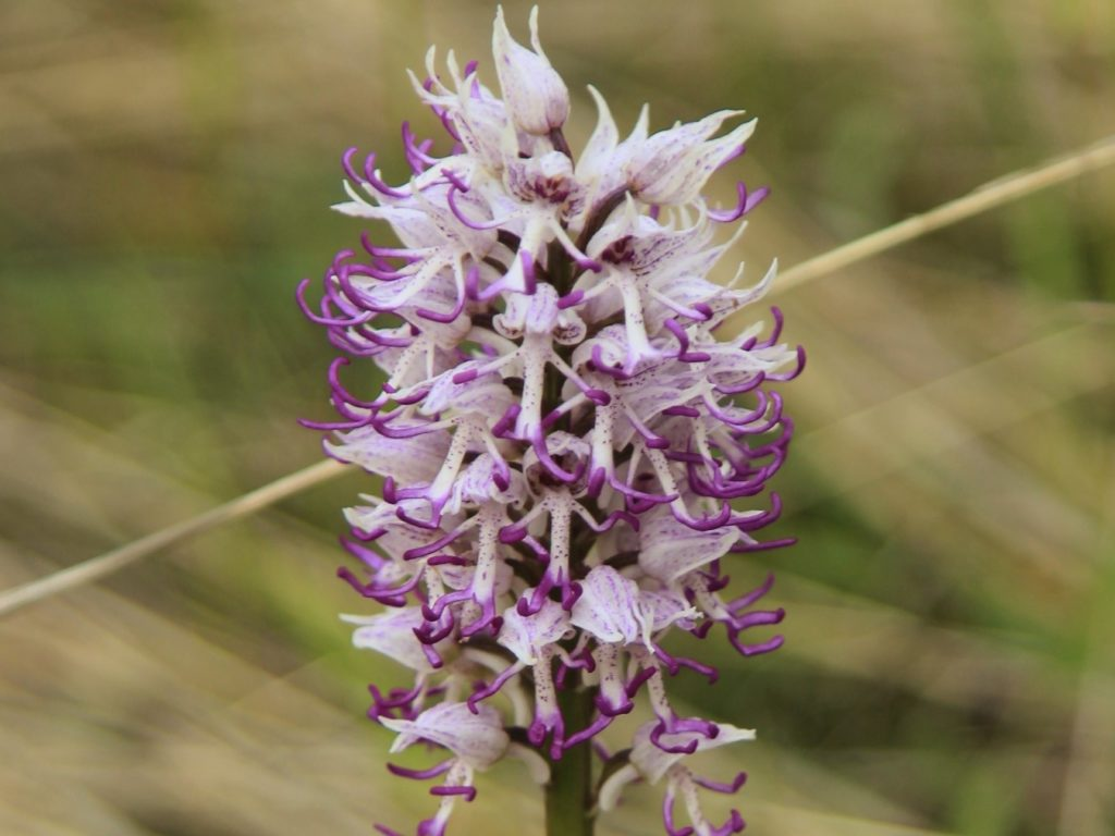 A close-up of a monkey orchid taken in Montenegro