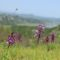 Wild purple orchids growing on a grassy hillside with blue lake and mountains in the background